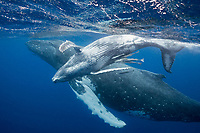humpback whale mother and female calf, Megaptera novaeangliae, Vava'u, Kingdom of Tonga, South Pacific Ocean; calf is accompanied by commensal remora fish