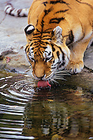 Siberian Tiger (Panthera tigris) drinking water from small pond.