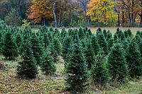 Christmas tree farm, Bennington, Vermont, USA.