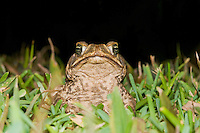 Cane toad, Bufo marinus. El General Valley, Costa Rica