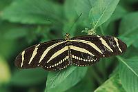 Zebra butterfly (Heliconius charitonius), adult, captive, Switzerland