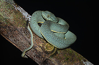 Espécie: Bothrops bilineatus<br /> <br /> A jararaca verde é uma serpente venenosa da família dos viperídeos (Viperidae). Pode ser encontrada em florestas úmidas da América do Sul, como a Mata Atlântica e a Amazônia. É uma espécie noturna, dócil e de difícil encontro, por isso, apesar de altamente venenosa, acidentes ofídicos envolvendo essa espécie são raros.<br /> .<br /> Expedição científica ao Parque Nacional da Serra do Divisor, Acre, Brasil. Realizada em 2013, com apoio do American Museum of Natural History e da City University of New York (ambos em Nova York), da Universidade de São Paulo, e do ICMBio.
