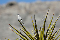 Loggerhead Shrike (Lanius ludovicianus) on Mojave Yucca. Desert National Wildlife Refuge, Nevada.