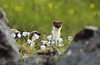 Hermelin, im Sommerkleid zwischen Steinhaufen, Legesteinhaufen, Großes Wiesel, Großwiesel, Marder, Mustela erminea, ermine, stoat