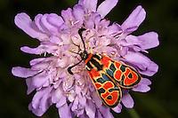 Bergkronwicken-Widderchen, Gelbkronwicken-Rotwidderchen, Glückswidderchen, Bergkronwickenwidderchen, Zygaena fausta, Zygaena faustina, Auspicious Burnet Moth