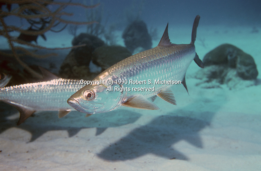 Tarpon, full body shot 45 degrees to camera