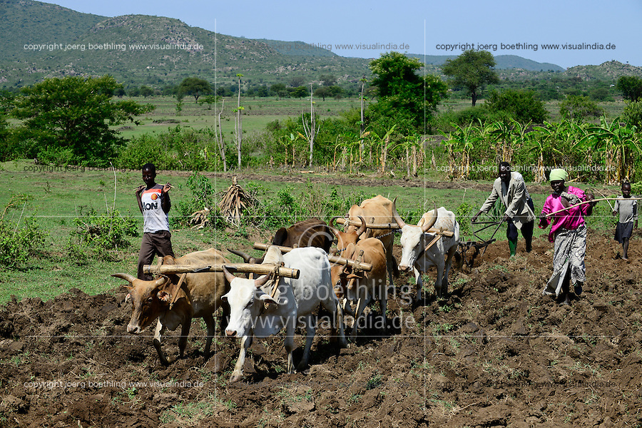 TANZANIA Region Mara, Musoma,  village Bokabwa, Kuria tribe, subsistence farmer work in maize field, family is ploughing with cow and ox / TANSANIA Region Mara, Musoma, Dorf Bokabwa, Kuria Ethnie, Subsistenzbauern pfluegen ein Feld mit Kuehen fuer den Maisanbau