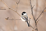 Black-capped chickadee in the winter forest of northern Wisconsin.