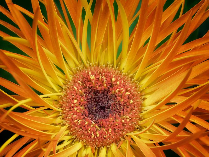 Close up of Aster flower. Oregon
