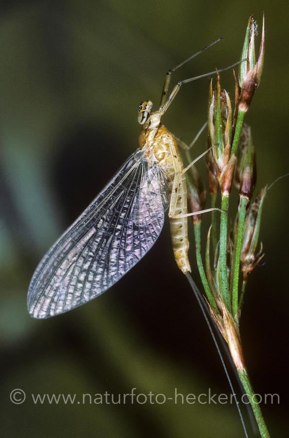 Eintagsfliege, Rhithrogena aurantiaca, syn. Rhithrogena diaphana