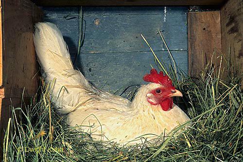 DG17-074z  Chicken Hen sitting on Eggs - White Leghorn