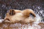 Polar bear rolls on his back in the snow, Canada.