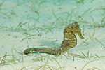 Common seahorse(Hippocampus kuda)