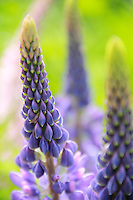 """Soft Lupines""<br />