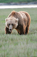 A large female brown bear grazes on plants at Alaska's McNeil River State Game Sanctuary,