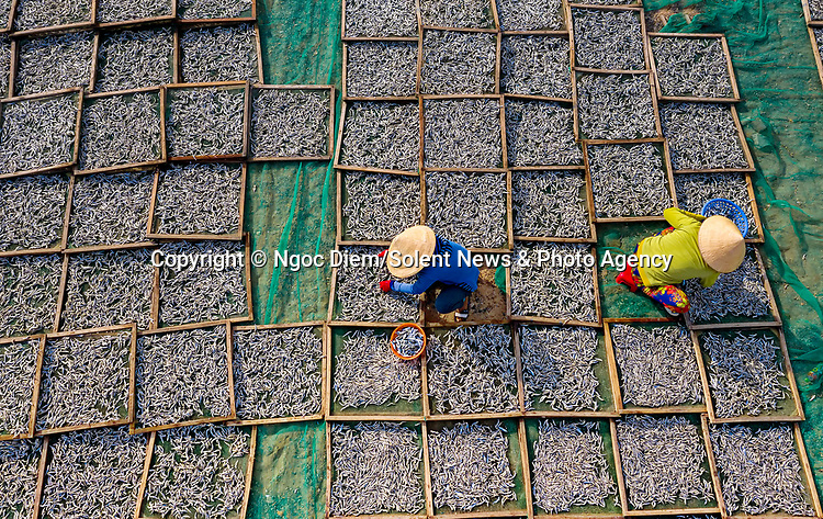 Workers dry and sort thousands of anchovies.  The locals, who earn around £7 a day, spread the fish out on green nets in the hot sun after they have been cooked.  <br /> <br /> The images were captured by amateur photographer Ngoc Diem in her hometown of Ninh Thuan province, Vietnam.  SEE OUR COPY FOR DETAILS.<br /> <br /> Please byline: Ngoc Diem/Solent News<br /> <br /> © Ngoc Diem/Solent News & Photo Agency<br /> UK +44 (0) 2380 458800