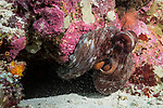 Hatta Island, Banda Sea, Indonesia; an octopus blowing sand as it emerges from a crevice in the coral reef