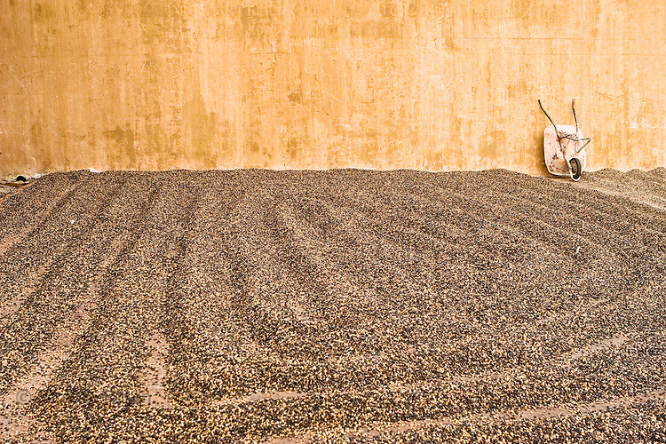 Washed parchment coffee spread out drying in the sun at a plantation near Antigua, Guatemala