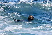 A sea otter (Enhydra lutris nereis) is eating in the waves of the ocean in the Monterey Bay National Marine Sanctuary.