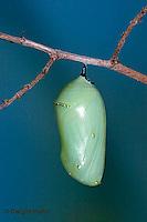 MO06-502p  Monarch Chrysalis - Danaus plexipuss