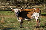 Brazoria County, Damon, Texas; a brown and white spotted cow casts a long shadow on the side of its body in the early morning sunlight