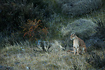 Mountain Lion (Puma concolor) female in pre-andean shrubland,Torres del Paine National Park, Patagonia, Chile