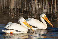 Two American White Pelicans, Pelecanus erythrorhynchos, swimming at Lower Klamath National Wildlife Refuge, Oregon