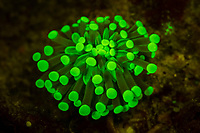 stony coral, Heliofungia sp., fluorescence photography, Raja Ampat Islands, West Papua, Indonesia, Indo-Pacific Ocean