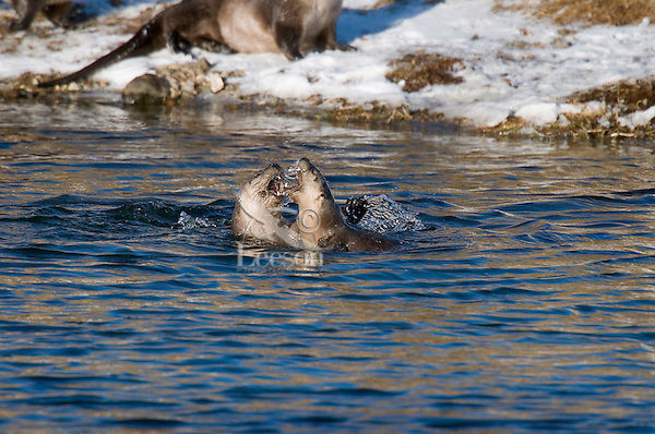 Northern River Otter (Lontra canadensis) playing in river.  Western U.S., winter.