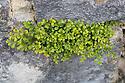 Wall Rue Spleenwort (Asplenium ruta-muraria) growing out of a stone wall. Derbyshire, UK. August.