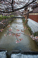 Japan, Kyoto. Cherry blossoms by the river.