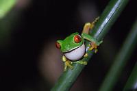 Red-eyed Tree Frog at the Lodge at Pico Bonito in Northern Honduras