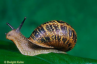 1Y08-097z   Land Snail - west coast snail - Helix aspersa
