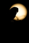 Barn Owl (Tyto alba) silhouetted by full moon at night, Santa Cruz, Monterey Bay, California