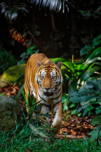 Sumatran Tiger (Panthera tigris sumatrae) walking in tropical rainforest.
