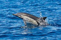 Short-beaked Common Dolphin, Delphinus delphis, porpoising, Costa Rica, Pacific Ocean