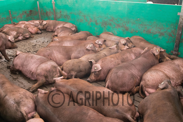 17.7.2020 Duroc pigs <br />  ©Tim Scrivener Photographer 07850 303986<br />      ....Covering Agriculture In The UK.