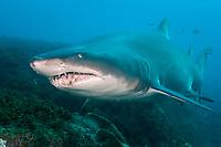 Grey Nurse Shark, Carcharias taurus, Large adult patrolling along rocky reef wall. Australia Fish Rock