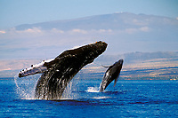 humpback whales, double breach, Megaptera novaeangliae, mother and calf, Mauna Kea Observatories visible at the summit, Kohala Coast, Big Island, Hawaii, USA, Pacific Ocean (dc)