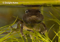 FR11-858z   American Toad Tadpole, Four leg stage and long tail, close-up of face, Anaxyrus americanus or Bufo americanus