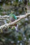Female Resplendent Quetzal (Pharomachrus mocinno) in cloud forest. Los Quetzales National Park, Savegre River Valley, Talamanca Range, Costa Rica, Central America.