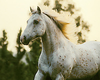 Appaloosa stallion portrait in motion.