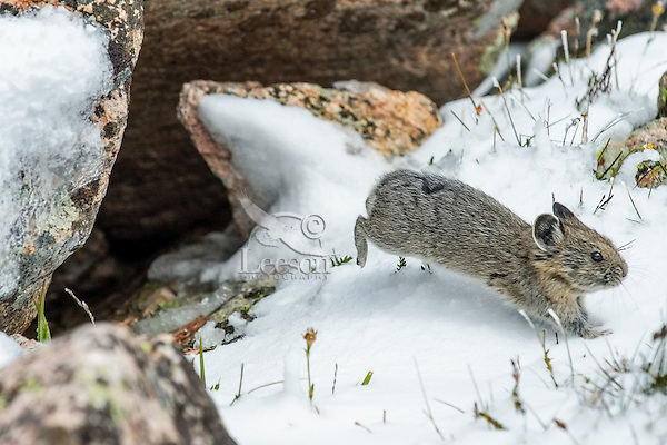 Young American pika (Ochotona princeps) darts from the safety of its boulder field home across a snow covered opening.  Beartooth Mountains, Wyoming/Montana border.  Summer.  This photo was taken in alpine setting at around 11,000 feet (3350 meters) elevation.  Look very much like a young rabbit in this photo.