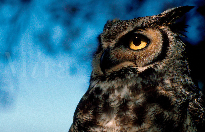 Detail close up of a Great Horned owl.