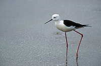 Stelzenläufer, Himantopus himantopus, black-winged stilt, Common Stilt