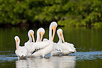 Ding Darling National Wildlife Refuge, Sanibel Island, Florida; five American White Pelican (Pelecanus erythrorhynchos) birds in similar stances while standing in the shallow water of the refuge © Matthew Meier Photography, matthewmeierphoto.com All Rights Reserved