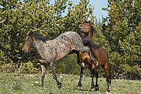 Wild Horse or feral horse (Equus ferus caballus) dominance behavior between stallions.  Western U.S., summer.