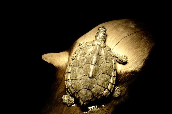 Texas Map Turtle