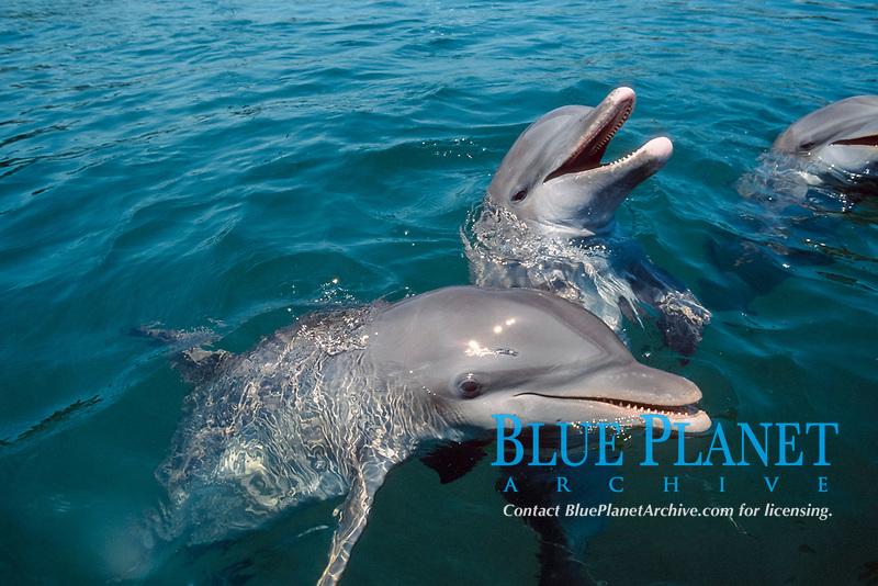 common bottlenose dolphin, Tursiops truncatus, Roatan, Bay Islands, Honduras, Caribbean Sea, Atlantic Ocean - not to be used to promote anti-captivity campaigns (cr)