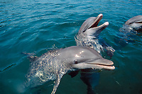 common bottlenose dolphin, Tursiops truncatus, Roatan, Bay Islands, Honduras, Caribbean Sea, Atlantic Ocean - not to be used to promote anti-captivity campaigns (cr)